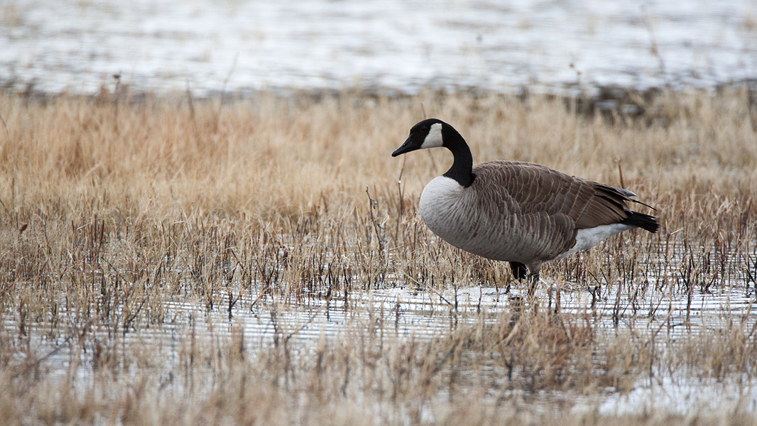The Canada Goose | MeatEater Hunting