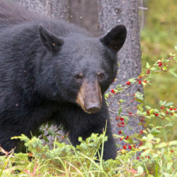 A Guide to Hunting Black Bear