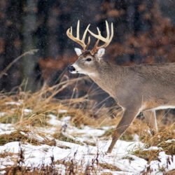 Tips and Tricks for Hunting Whitetail Deer