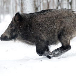 A Guide to Hunting Wild Pigs