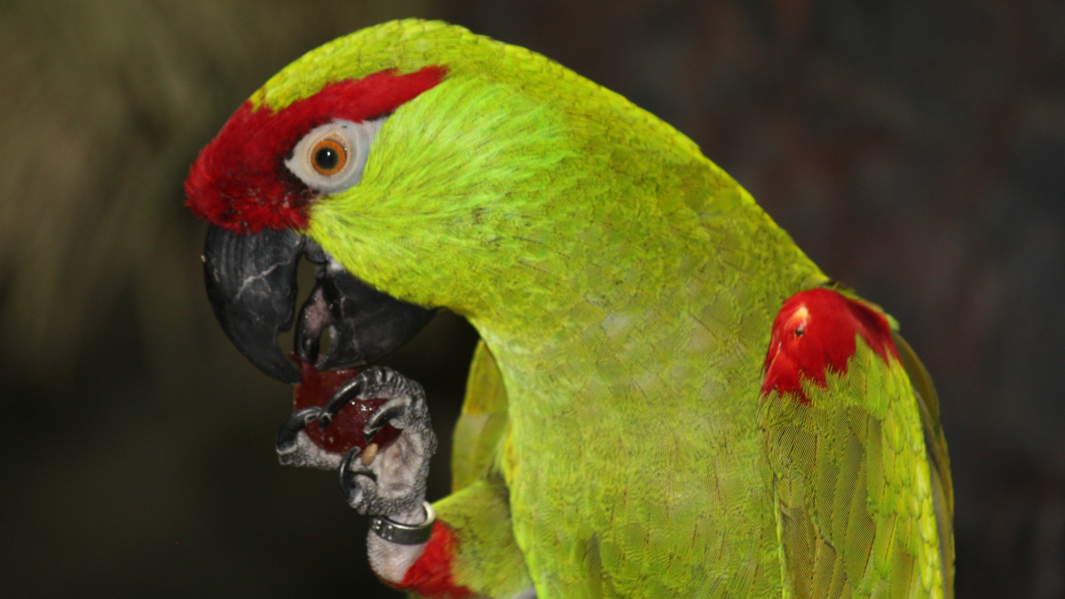 Bar Room Banter: Arizona's Extirpated, Native Parrots | MeatEater ...
