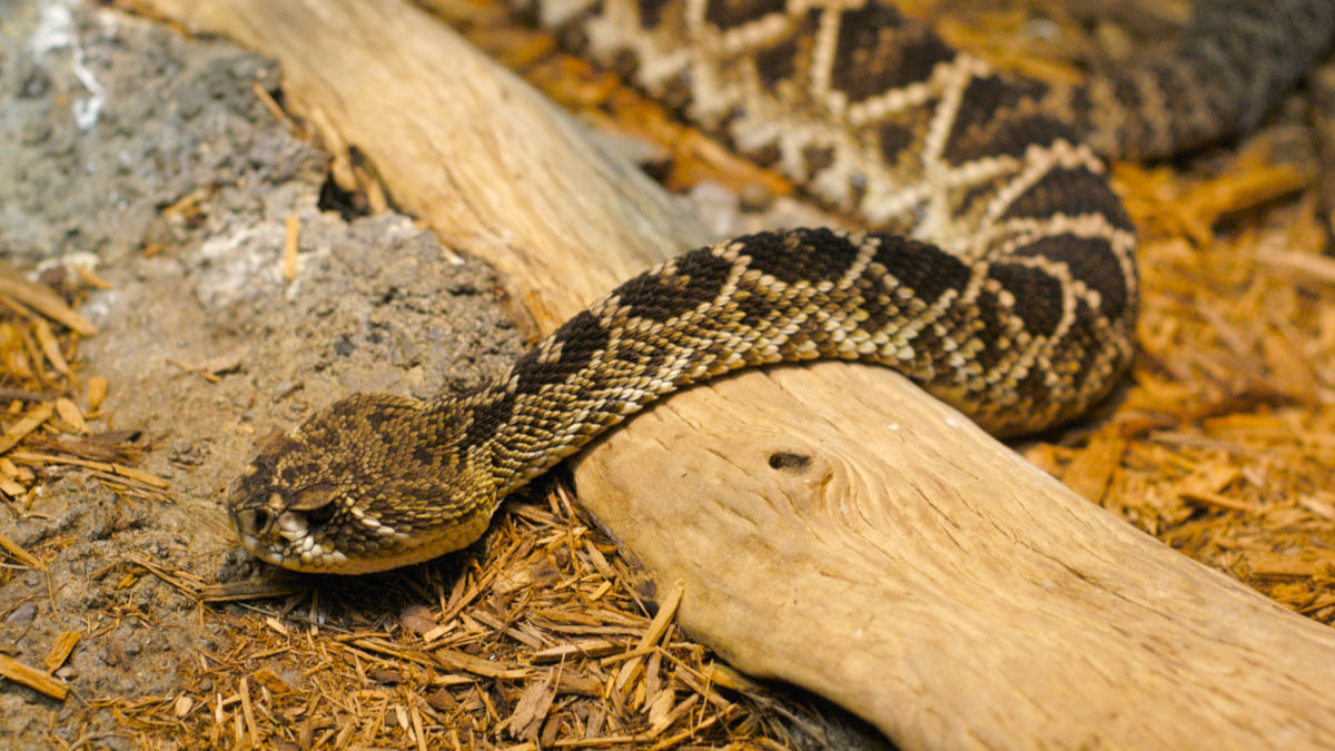 Fact Checker: Are Baby Rattlesnakes More Dangerous? | MeatEater ...