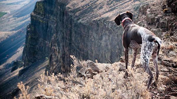 a german shorthair pointer looks over a rocky canyon while hunting chukar.