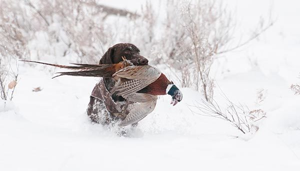 A GSP delivers a picturesque retrieve through thick snow.