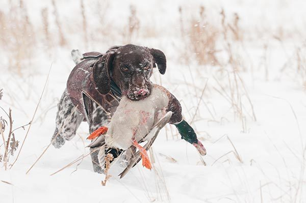 A GSP retrieves a drake mallard through the snow.