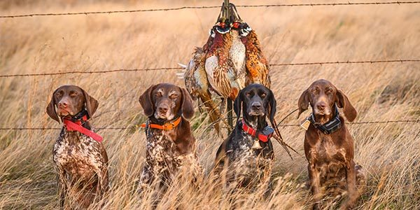four german shorthair pointers staged with pheasants after a hunt.