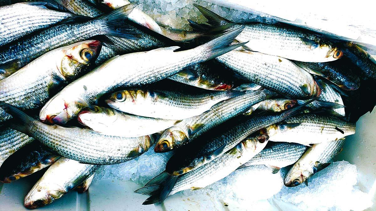 "Trash Fish Tuesday: Striped Mullet, aka ""Biloxi Bacon"""