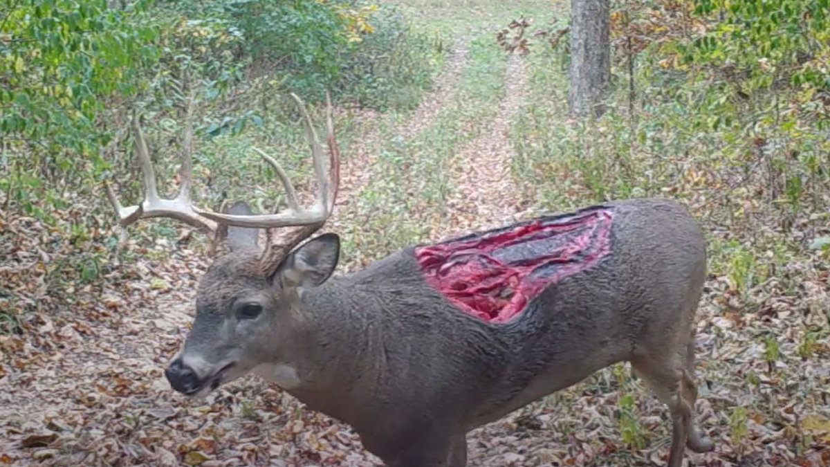 Video: Zombie Deer with Unbelievable Wound Caught on Trail ...