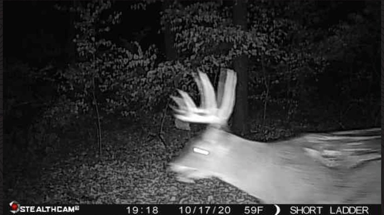 whitetail buck with giant injury