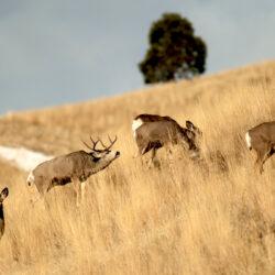 How to Find Big Mule Deer Bucks During the Rut